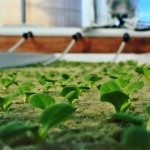 lil lettuce edited