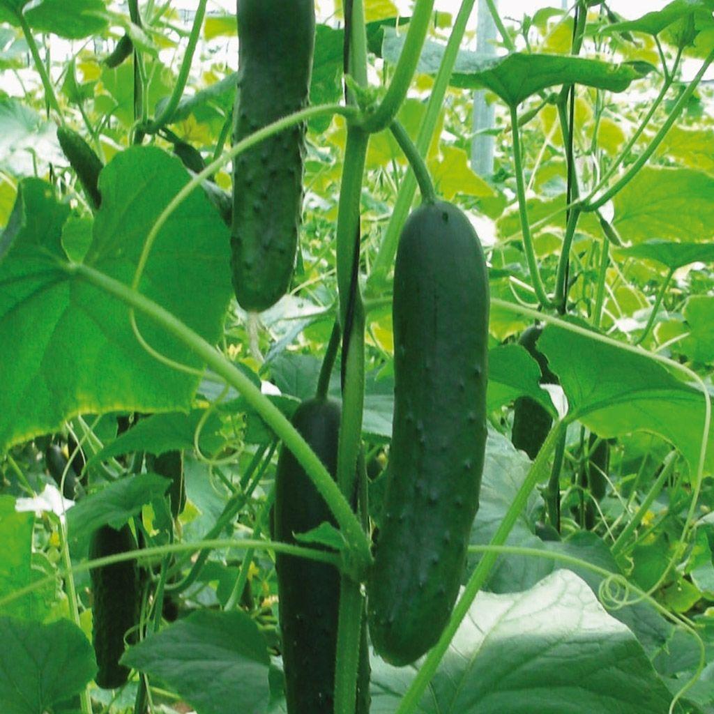 Organic Cucumber, Corinto (Slicing)