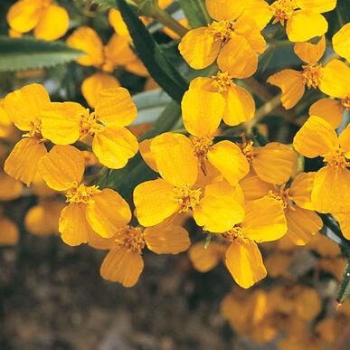 Organic Marigold, Mexican Mint