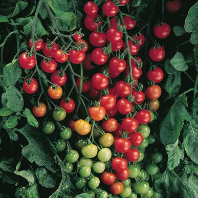 Tomato, Supersweet 100 (Cherry)